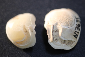 Otolith drum ear bones (Photo by the Ohio History Connection blog)