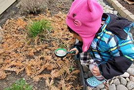 My toddler inspecting the branches and needles I've scattered around the wild nodding onion plant. (Photo by Wendy Ho/NCC staff)