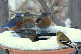 Western bluebirds (and one American goldfinch) huddle around a heated birdbath on a cold winter day in the Okanagan. (Photo by Eva Durance)