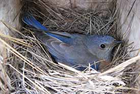 A female western bluebird sits on her nest inside an artificial cavity (nest box). (Photo by Catherine Dale)