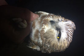 Banding a saw-whet owl. Kevin Fraser's lab hopes to use Icarus tags to track these small owls during migration. (Photo by Kevin Fraser)
