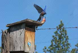 A territorial male bluebird defends his nest box from a wooden decoy. (Photo by Catherine Dale)