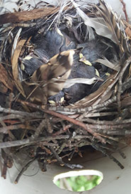 House wren chicks in nest tube (Photo by Sarah Ludlow/NCC staff)