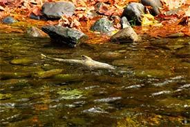 Salmon run (Photo by Pri2s via Getty Images/Canva)