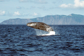 Sperm whale (Photo from Wikimedia Commons)