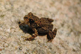 Pickerel frog (Photo by Raechel Bonomo/ NCC staff)
