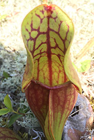 Pitcher plant (Photo by NCC)