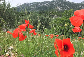 Poppies in full bloom (Photo by Gayle Roodman/NCC staff)