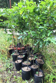 Potted trees ready for planting (Photo by Mimi Chan)