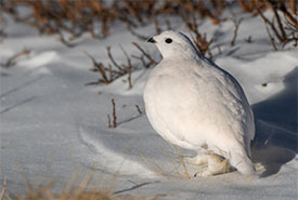 Ptarmigan (Photo by kahj19 from Getty Images/Canva)