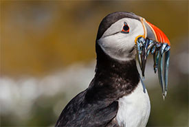Puffin (Photo by ATGImages from Getty Images/Canva)