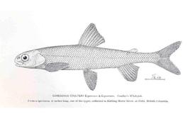 <i>Pygmy whitefish</i>, graphite on paper, 1893-1894 (Illustation by Barton W. Evermann)