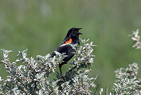 Red-winged blackbird singing from wolf willow (Photo by Mike Dembeck)