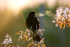 Red-winged blackbird (Photo by Nila Sivatheesan/NCC staff)