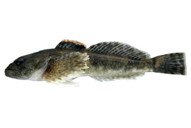 Rocky Mountain sculpin (Cottus bairdii) (Photo by Doug Watkinson/Fisheries and Oceans Canada)