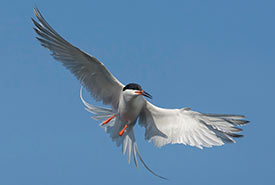 Roseate tern (Photo by Ronnie d'Entremont)
