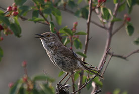 Sage thrasher (Photo by Dick Cannings)