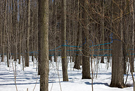 Sugar maple sap lines (Photo by Michel Rathwell, Sand Road Maple Sugar Farm Sap Lines)