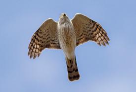 Sharp-shinned hawk (Photo from Wikimedia Commons)