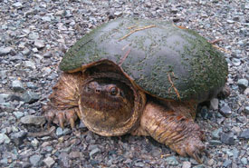 Snapping turtle (Photo by NCC)