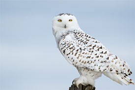 Snowy owl (Photo by rosstaylor from Canva)