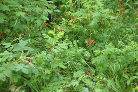 Orange hawkweed infestation (Photo by NCC)