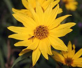Syrphid flies prefer regular flowers like this sunflower. (Photo by Diana Bizecki Robson)