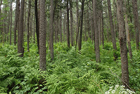 Tamarack forest (Photo by NCC)