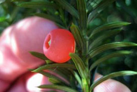 The toxic yew (Taxus spp.) trees have fleshy red cones, not dry ones. (Photo by Rob Routledge/Wikimedia Commons)