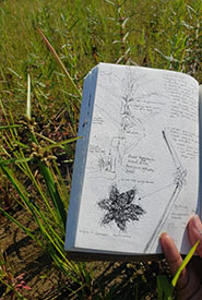 The invasive bog bulrush growing next to one of Canada's few populations of the endangered grand redstem. Management of invasive species like bog bulrush is a critical part of NCC's stewardship work. (Photo by Hashveenah Manoharan/NCC intern)