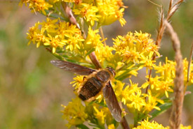 The summer-blooming showy goldenrod, being visited by a bee fly, was less abundant than the spring-blooming flowers. (Photo by Diana Robson)