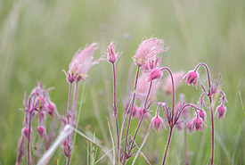 Three-flowered avens (Photo by Meghan Mickelson)