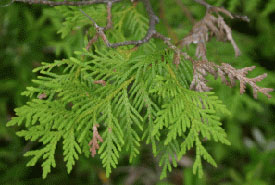 The plant used to make Cartier's tea may have been a cedar. (Photo by Manitoba Museum)