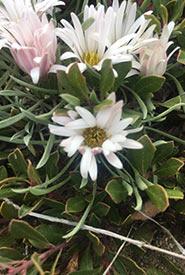 Low townsendia, one of Saskatchewan's wildflowers (Photo by NCC)
