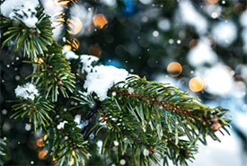 Evergreen tree (Photo by Artem Beliaikin from Pexels/Canva)