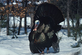 Turkey (Photo by Tom Brakefield from Photo Images/Canva)