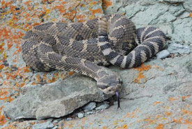The western rattlesnake. (Photo by Stephanie Winton)