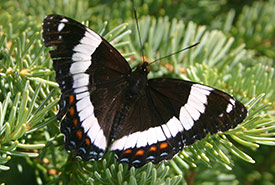 White admiral butterfly (Photo by Diana Bizecki Robson/Manitoba Museum)