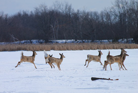 White-tailed deer, Lynde Shores Conservation Area, Whitby, ON (Photo by Pia Kaukoranta/ NCC staff)