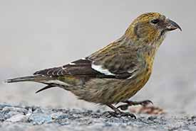 White-winged crossbill female (Photo by Chris Wood)