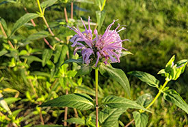 Wild bergamot (Photo by Nicole Senyi/NCC staff)