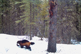 The elusive wolverine. This individual was caught on camera making off from the bait station with a large piece of beaver carcass. (Photo by InnoTech Alberta and Alberta Environment & Parks)
