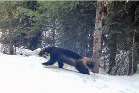 The wolverine known as Hookneck, whose colouration patterns make him easy to identify. His movement over the study site ranged nearly 1,000 square kilometres. (Photo by InnoTech Alberta and Alberta Environment & Parks)