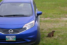 The woodchuck that lives under the field house inspecting my car. (Photo by Diana Bizecki Robson)