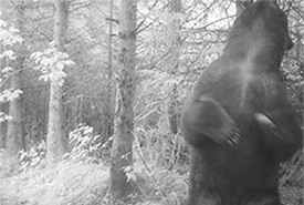 This image, taken of a bear scratching its back against a tree, was taken with a trail camera in Wuikinuxv. (Photo by NCC)