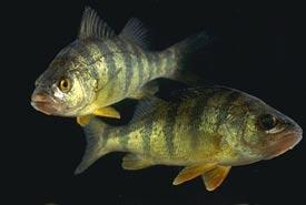 Yellow perch swimming (Photo by USDA)