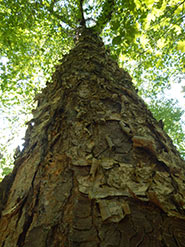 Yellow birch (Photo by NCC)