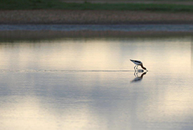 An American avocet feeding at Shoe Lake, SK (Photo by Mike Dembeck)