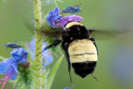 American bumble bee (Photo by David Kaposi, CC BY-NC 4.0)