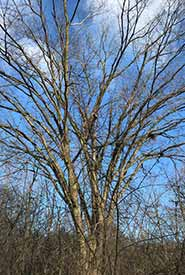 American elm (Photo by mariaray, CC BY-NC 4.0)